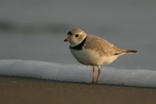 Image of a piping plover