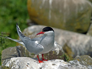 Image of an Arctic Tern