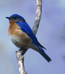image of an eastern bluebird