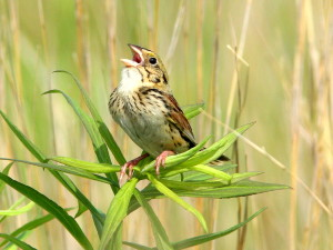 Henslow Sparrow Photo by Kenneth Cole Schneider