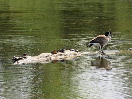 Image of a Canadian Goose and turtles