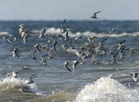 Image of a flock of common terns