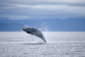 North Pacific Humpback Whale (iStock)