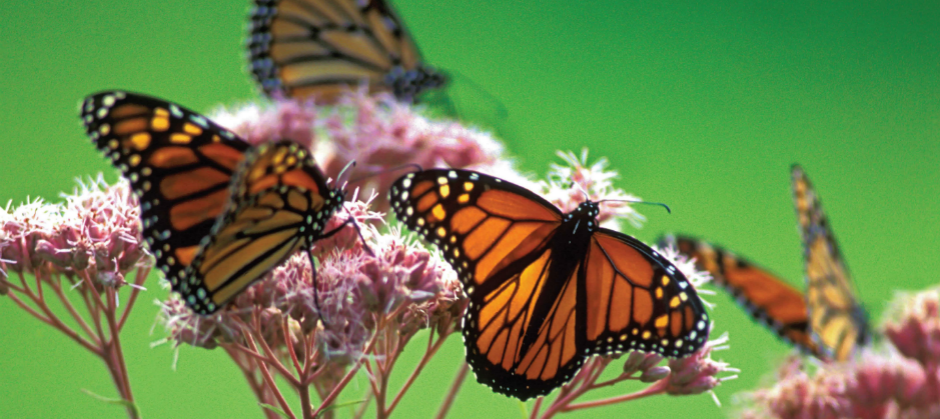 Protecting the Monarch Butterfly – in Canada and Internationally