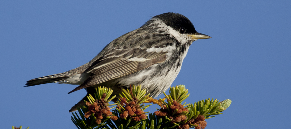 """Boreal Birds Need Half"" report released today"