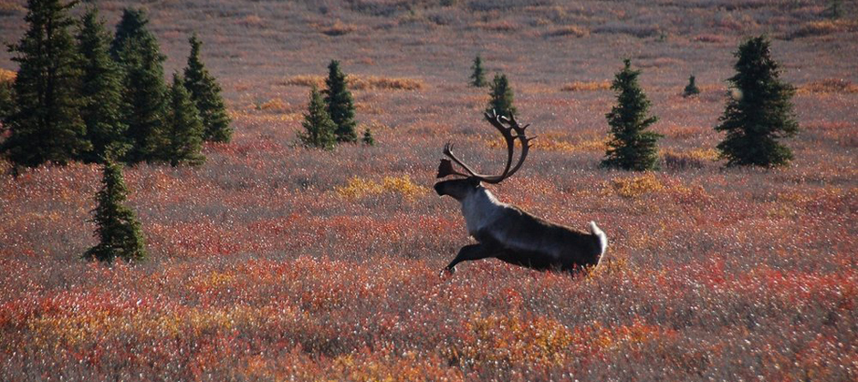Image of caribou in the field