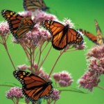Plant milkweed to protect monarch butterflies