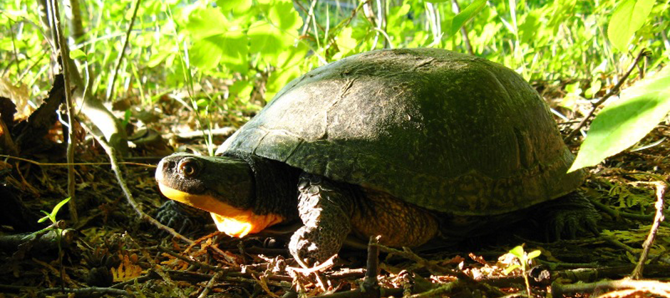 Court of Appeal to hear Prince Edward County turtle case