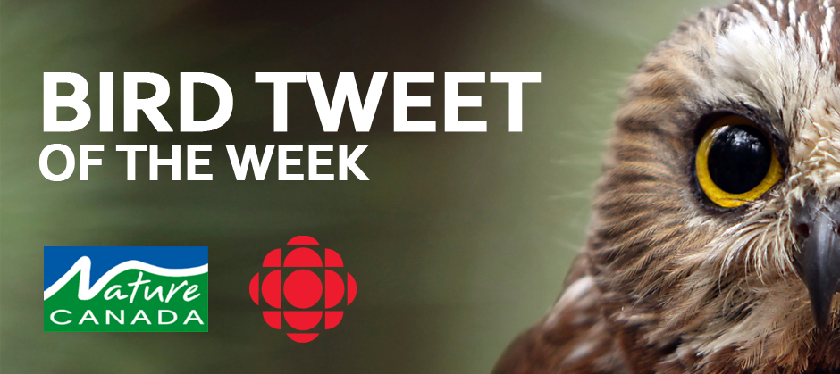 Bird Tweet of the Week: Snowy Owl