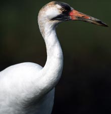 Image of a whooping crane