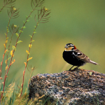 image of Chestnut-collared Longspur
