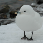 image of Ivory Gull