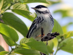 photo Blackpoll Warbler