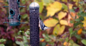 photo of White breasted nuthatch at Mud Lake