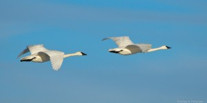 photo trumpeter swans