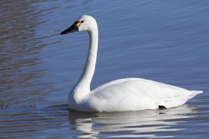 photo tundra swan