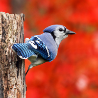 Blue Jay with red background