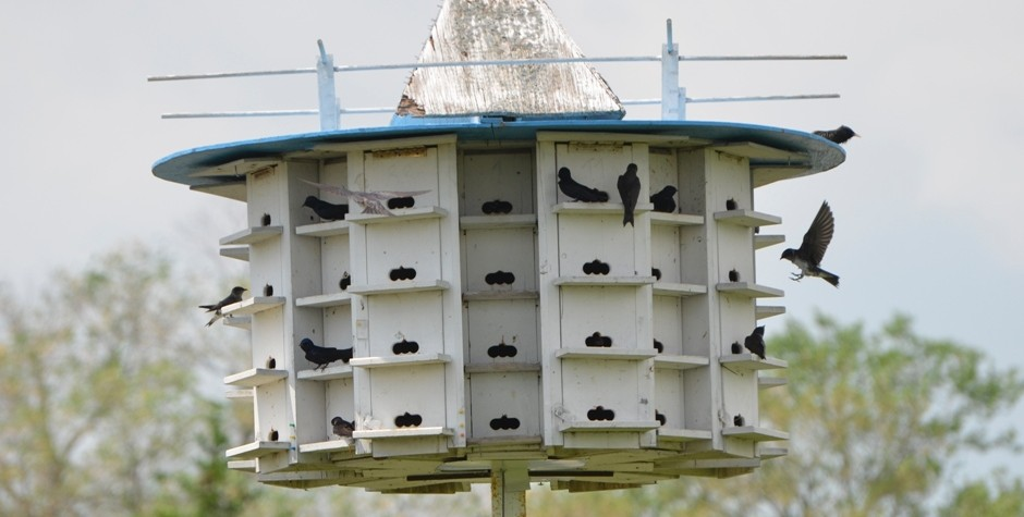 Purple Martin colony