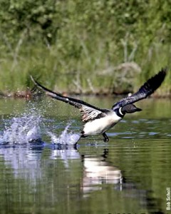 Common loon taking off by Bob Scholl