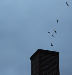 Chimney Swifts diving into chimney
