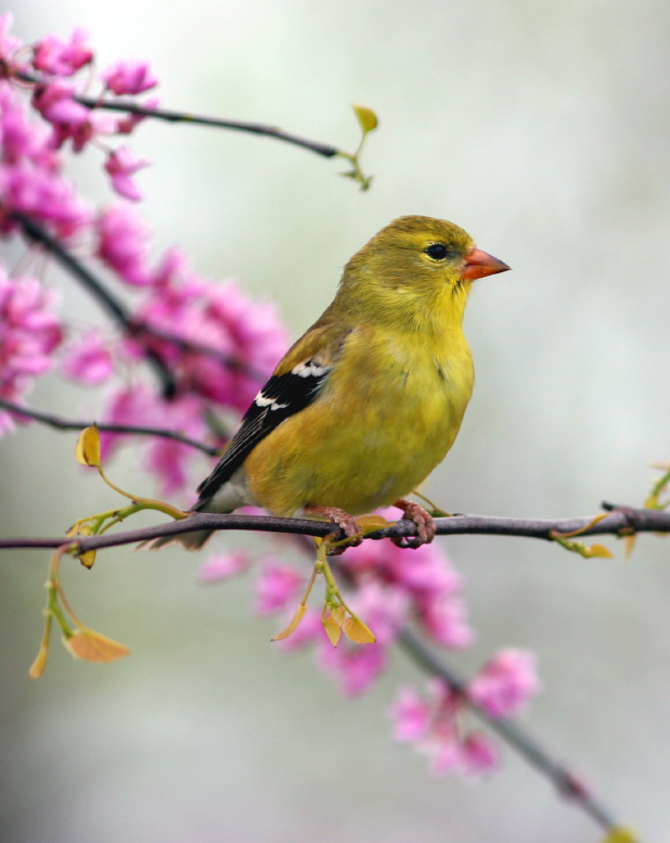image of an american gold finch
