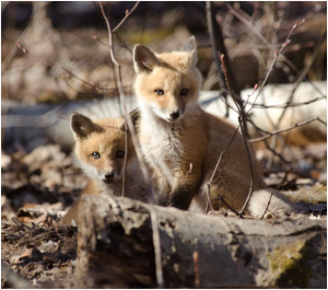 Red fox kits. Photo by: Phil Myers