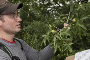 Man examines a Bitternut Hickory during our Summer NatureBlitz event in Ottawa