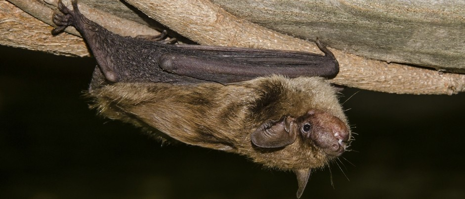 Help us Find At-risk Bats in your NatureHood!