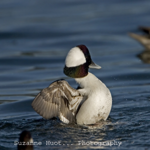 Image of a Bufflehead