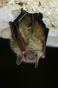 Close-up of an Eastern Pipistrelle bat hanging upside down in a cave, species at risk, Canada, nature, nocturnal