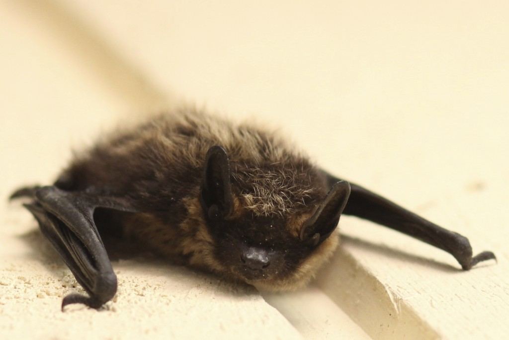 Northern myotis bat clinging to a surface, species at risk