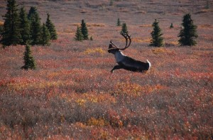 Image of a caribou