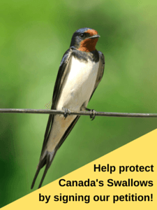 Image of Barn Swallow
