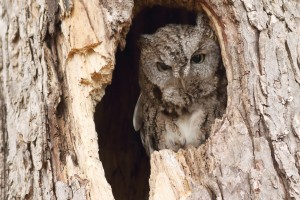 Eastern Screech Owl by Mike Norkum. CC BY ND 2.0
