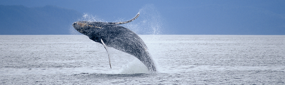 Image of a Humpback Whale