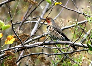 Image of a Northern Flicker