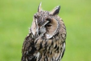 Image view of a Long eared Owl