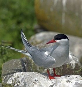 Photo of an Arctic Tern