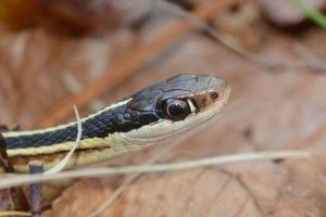 Eastern Ribbonsnake image in leaves