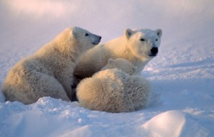 Image of a mother Polar Bear with cubs