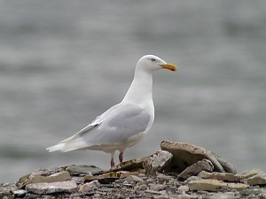 Image of a Glaucous Gull