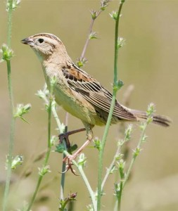 Image of a female Bobolink on a branch