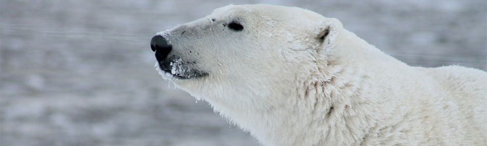 We know that ducks quack and cows moo, but what then, do Polar Bears do?