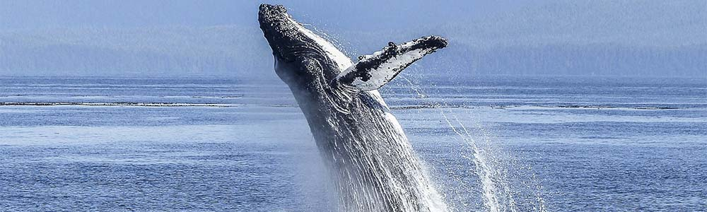Image of a Humpback Whale jumping out of water