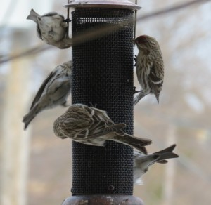 Image of birds at a feeder