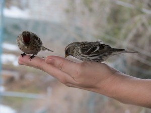 Image of birds eating out of a hand