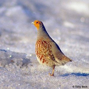 Image of a Gray Partridge