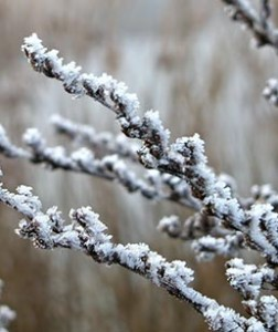 Image of a frosted branch