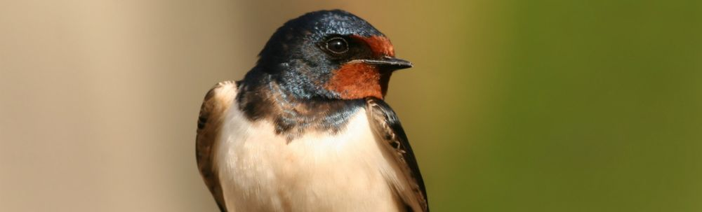 Six Ways to Welcome Swallows Back to Canada this Spring