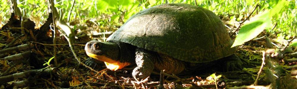 Turtle Recovery Action Sees Growth in Ontario